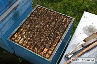 Продам бджолосім'ї української степової породи