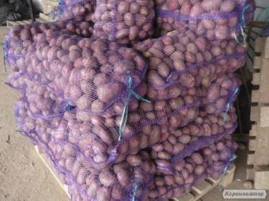 Велику картоплю оптом з доставкою