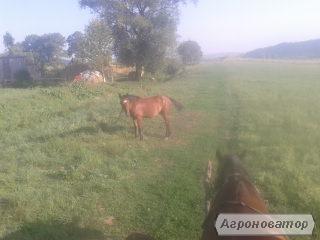 конь молодой