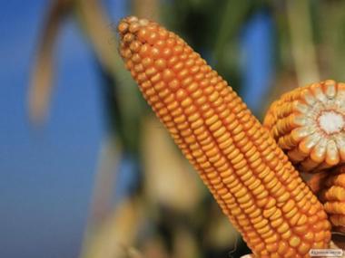 Купити насіння кукурудзи Сильвинио