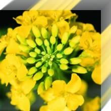 Озимый рапс Syngenta гибрид Нельсон
