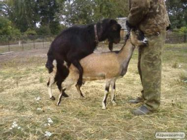ЛАМАНЧА кітні кози .козел,козенята вибір