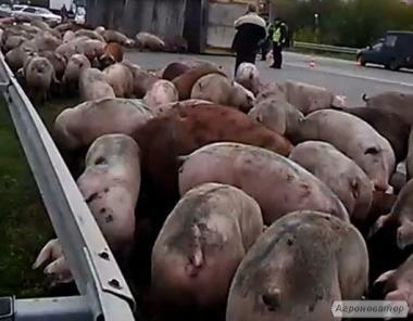 продам беконні свині живою вагою від 120 до 145 кг у наявності 110 голів