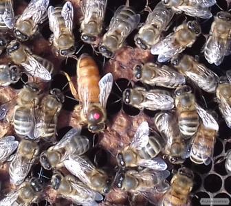 Продам пчеломатки бакфаст 2019