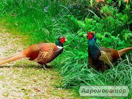 продам фазан мисливський