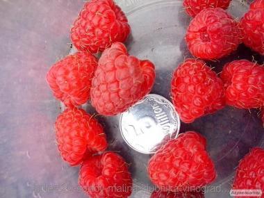 Продам саженцы ранней малины крупноплодной. Низкие цены. Доставка.