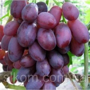 Виноград темно-рожевий ранній Дунав