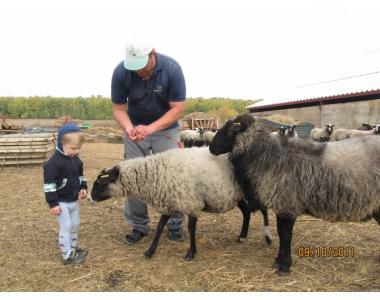 Овцы и ягнята романовской породы