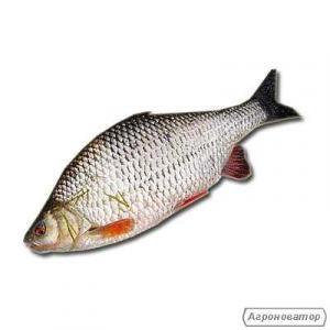 Риба охолоджена