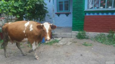 Продам рижорябу корову!