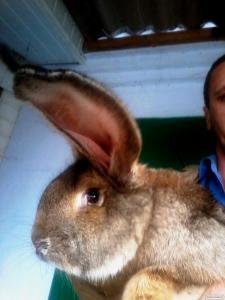 Фландр (Бельгийский великан), Обер - кролики мясных пород
