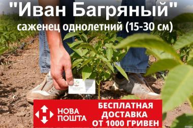 Саджанці волоський горіх сорт «Іван Багряний» (саджанці волоський горіх)