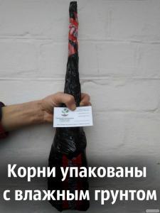 Саженцы грецкий орех сорт «Иван Багряный» (саджанці волоський горіх)