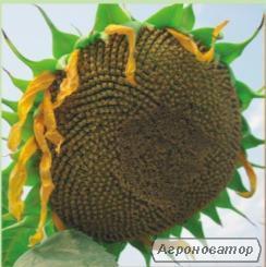 Семена подсолнечника Римисол (евролайтинг)