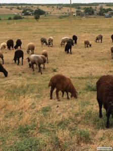 Вівці, барани курдючне