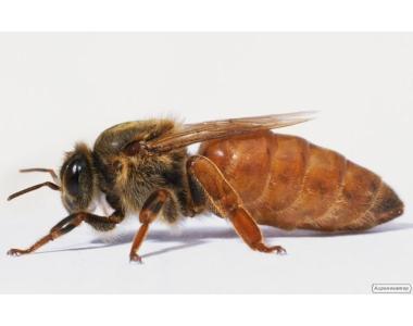 бджоломатки бакфаст, карніка