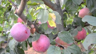 Яблука і груші
