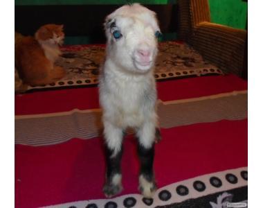 Продам кролів породи Ла Манчі