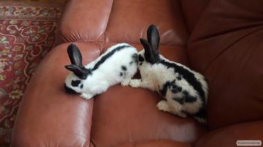 кролики породы немецкий пестрый строкач