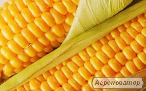 Гібрид кукурудзи Оржиця від виробника