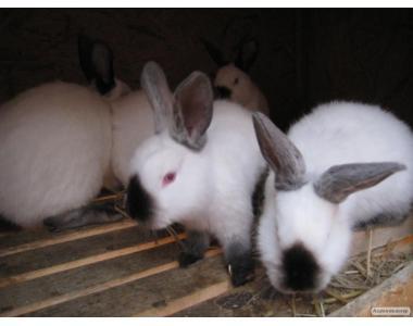 Кролики різних порід, племінні, елітні
