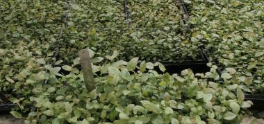 Саджанці чорниці в мікроплатах