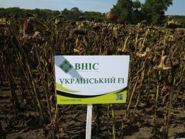 Семена подсолнечника Украинский F1 фракции стандарт