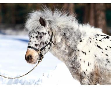 мини пони  Кобыла