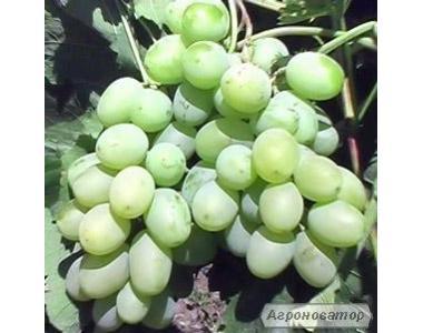 Саджанці винограду сорт Подарунок Запоріжжя