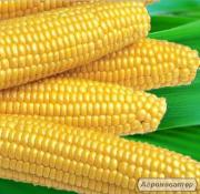Мегатон F1 семена кукурузы суперсладкой Harris Moran