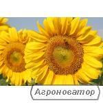 Соняшник Бонд / Рембо під гранстар