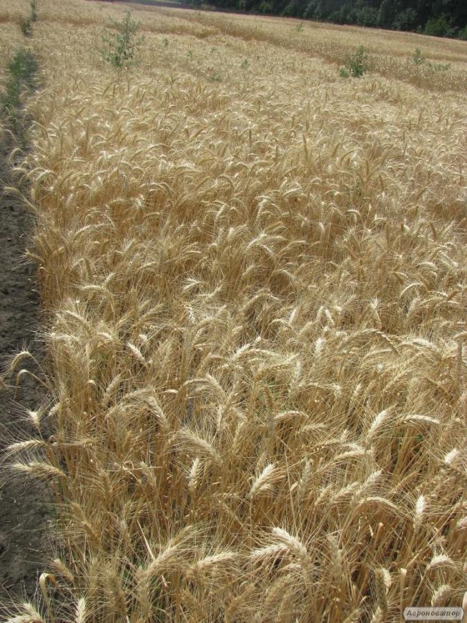 Семена пшеницы  озимой - сорт Виктория Одесская. Элита и 1 репродукция