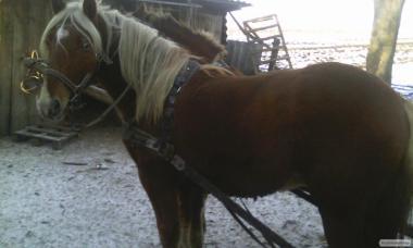 продам пару молодых лошадей