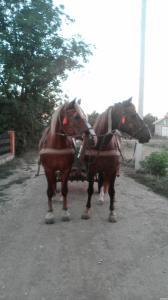 Продам двох кобил