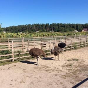 Продам страусів південноафриканських