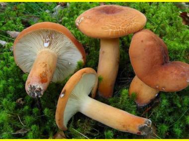 Міцелій Подмолочника / Груздь червоно-коричневий (Lactarius volemus)