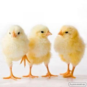 Инкубационные яйца бройлеров, цыплята кур бройлеров. Инкубационное яйцо