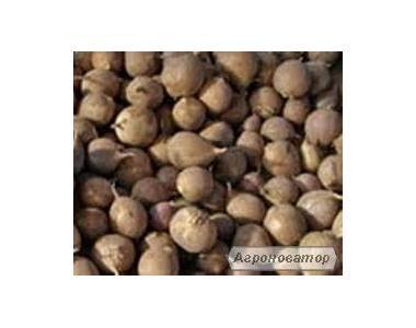 Предприятие реализует высококачественные семена часникуДоставка Новая почта