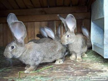 Обмін кроликів фландр на зернові