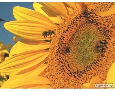 Насіння соняшнику МАС 81Ц (MAISADOUR)