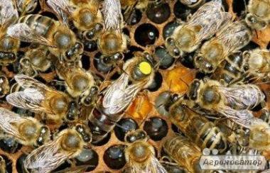 Пчеломатки карпатки.