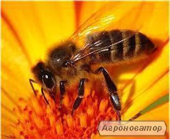 Высококачественные, плодные,меченые пчеломатки Украинская степная