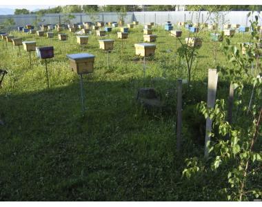 Предлагаем Закарпатские Племенные Пчеломатки