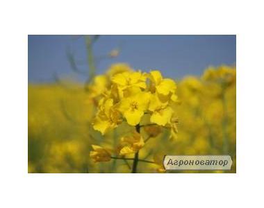 Семена озимого рапса - Клеопатра