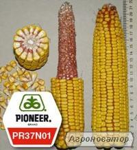 Гибрид кукурузы ПР37Н01/ PR37N01 ФАО 390