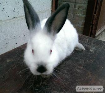 Кролики Калифорнийские и Полтавское серебро