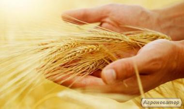 Продаєм пшеницю фуражну