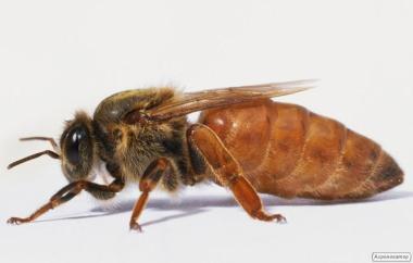 Бакфаст  пчеломатки.