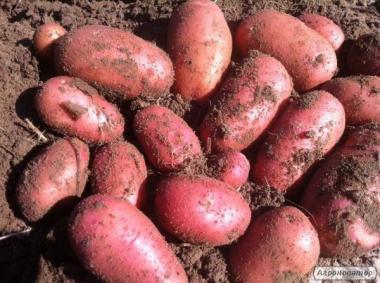 Продам картошку картофель ред леди посадочный