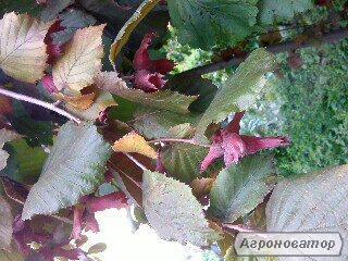 Саджанці фундука Сирена червонолистий і трапезундський 2-летние